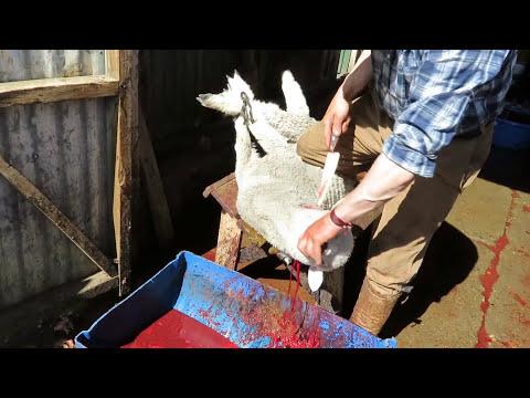 Dentro de la red argentina que provee lana a Patagonia, Inc.: Un video exposé de PETA EE.UU.