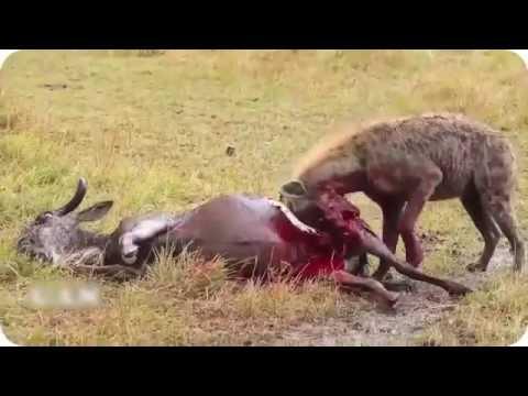 Most Horrible Hyenas Eating Animals Alive Wildebeest, Zebra, Impala