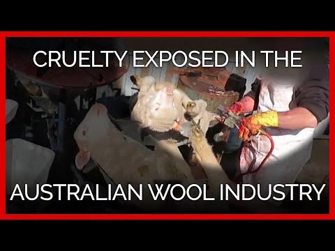 PETA Asia's Latest Findings of Cruelty in the Australian Wool Industry