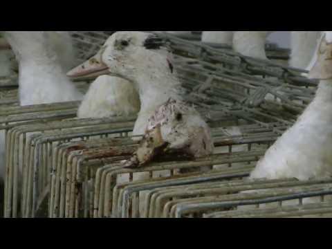 ¿Qué es el foie gras? Maltrato de patos y gansos