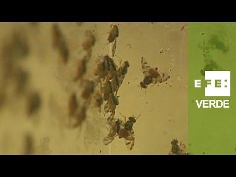 España, pionera en la Técnica del Insecto Estéril contra la mosca de la fruta