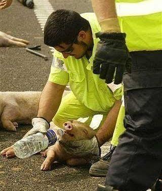 Ayuda a un cerdo herido en un accidente de tráfico