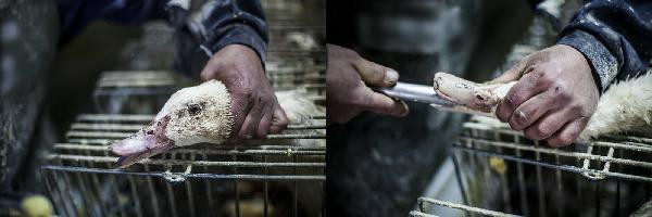 La alimentacion forzada es maltrato animal