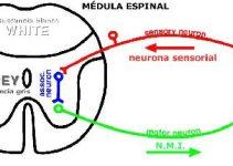 """ARGUMENTO: """"Los sistemas nerviosos no centralizados generan una conciencia"""""""