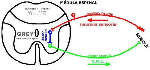 Arco reflejo del sistema nervioso