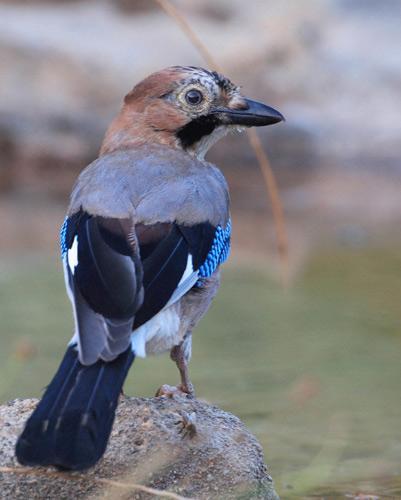 arrendajo, un ave que planifica el futuro
