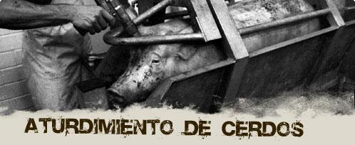 aturdimiento de cerdos