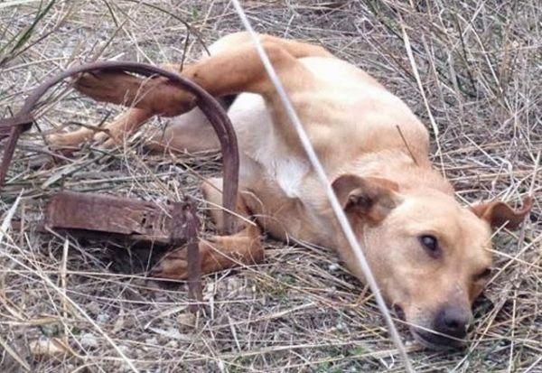Perro víctima de un cepo en Valencia (España)
