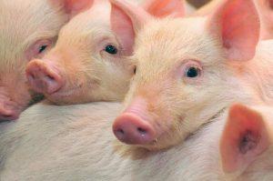 Los cerdos tienen conciencia