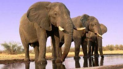 Los elefantes son herbivoros con colmillos