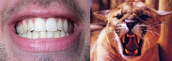 Comparación de caninos con colmillos
