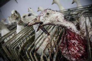 El foie gras es maltrato animal