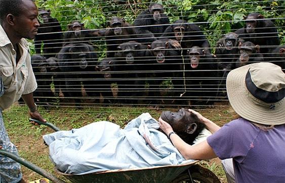 Consciencia de la muerte en chimpancés