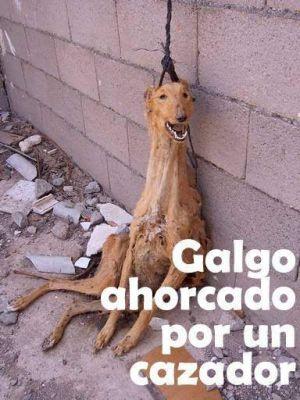 Galgo ahorcado por un cazador