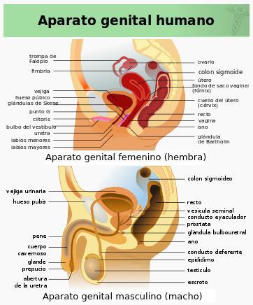 genitales humanos