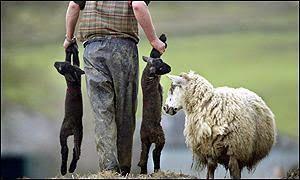 Corderos víctimas de la lana