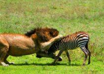 León ataca a cebra
