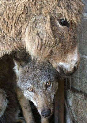 Lobo y burro amigos