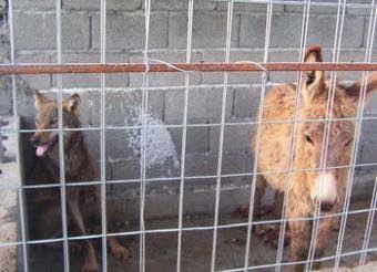Lobo y burro comparten jaula