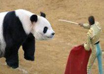 Oso panda de lidia