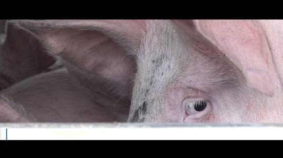 Un cerdo mira asustado