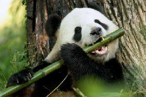 Los osos panda son carnívoros y solo comen bambú