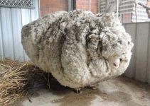 La lana es maltrato animal
