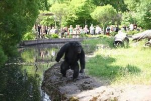 Santino en el zoo de Furivik