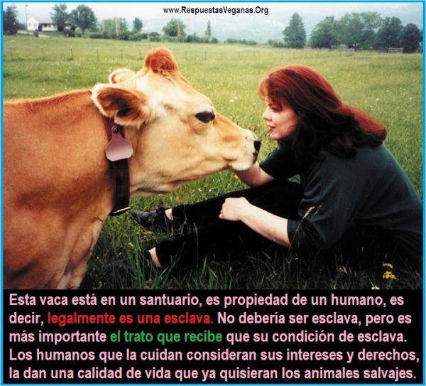 Vaca en santuario animal