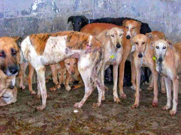 Los zulos de los perros usados para cazar